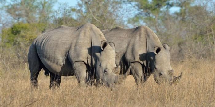 Носороги узнают последние новости, копаясь в кучах кала