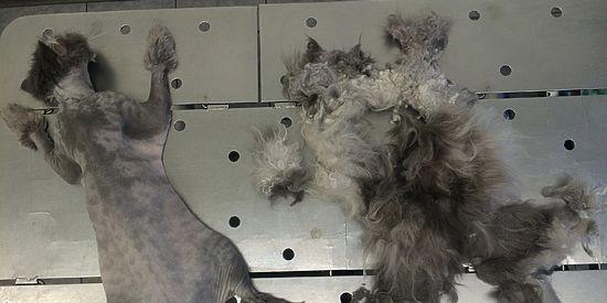 Московские ветеринары обрили налысо кота, скованного огромным колтуном
