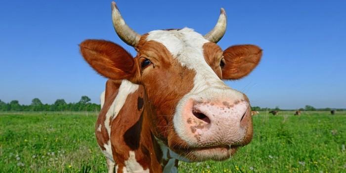 Видео дня: в Чебоксарах корова с урной на голове разбила машину