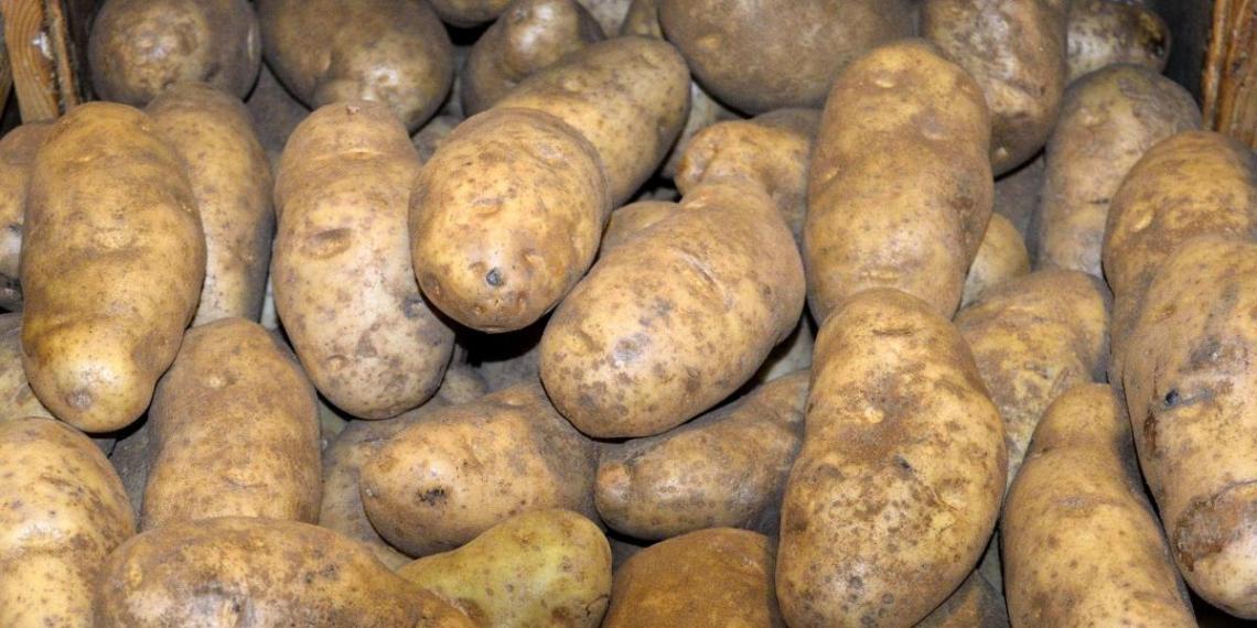 Юрист предупредил о штрафах за выращивание картошки