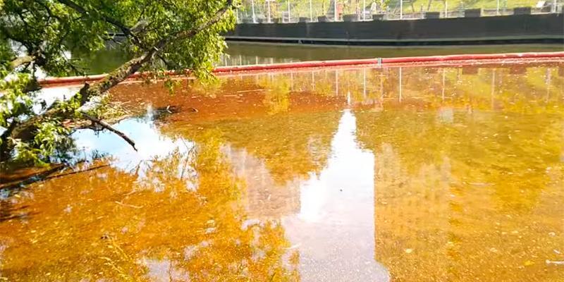В Химках после разлива нефтепродуктов погибли краснокнижные сомы