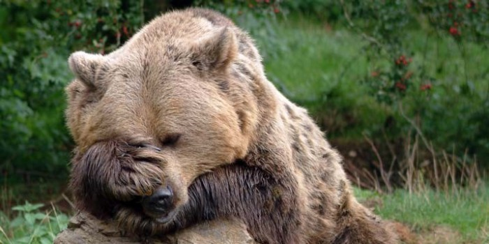 На Урале грибник набил морду откусившей ему нос медведице