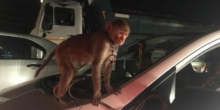 Сбежавшая из ночного клуба обезьяна перебирала двигатель авто в омском автоцентре