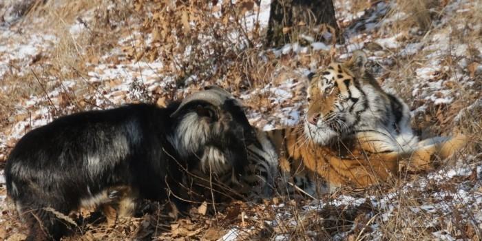 У тигра Амура заберут козла и подселят невесту