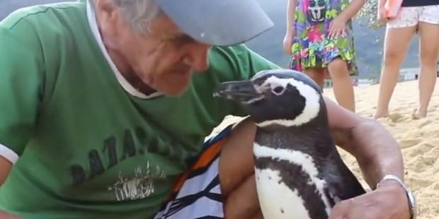 Пингвин ежегодно проплывает 8 тысяч километров ради встреч со своим спасителем