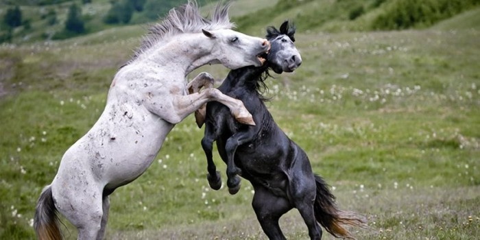 Жители Псковской деревни ищут спасения от одичавших лошадей