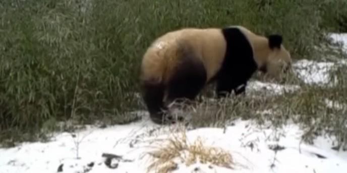 Ученые засняли панду, которая мочилась стоя на передних лапах (ВИДЕО)