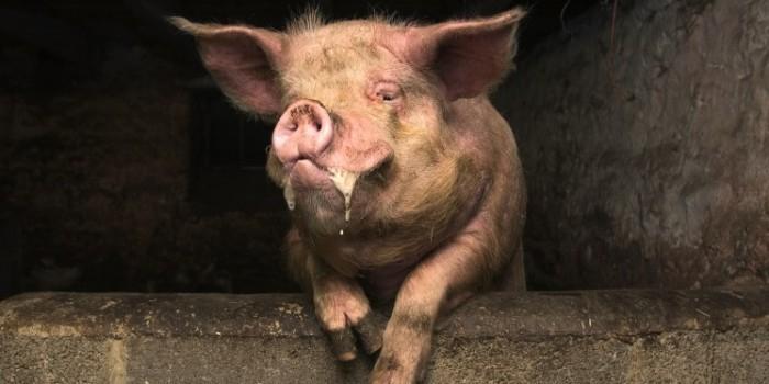 В Мексике свинья убила фермера, откусив ему пенис