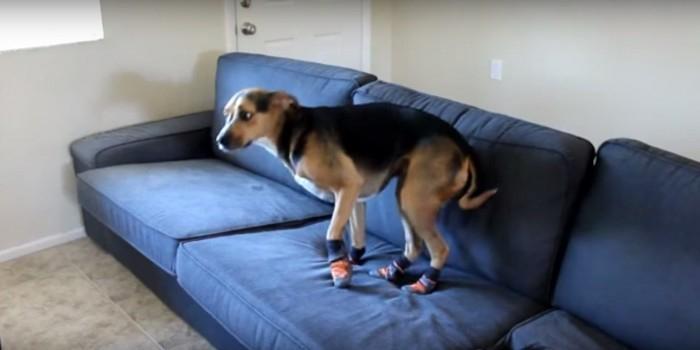 Пес со смешной походкой покорил сердца интернет-пользователей