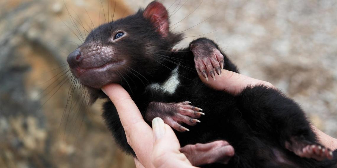 На материковой Австралии родились первые за 3 тысячи лет тасманийские дьяволы