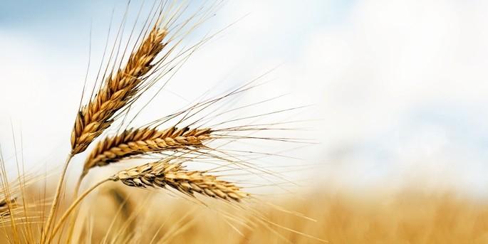 Турция ввела пошлины в 130% для кукурузы и пшеницы из России