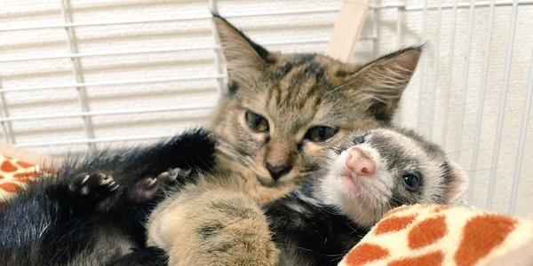 В Японии хорьки усыновили котенка