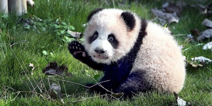 Милое видео с первыми шагами детеныша панды стало хитом интернета