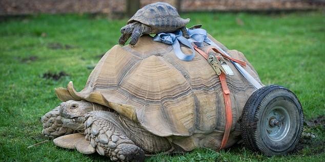 Самец черепахи стал инвалидом после 2-месячного секс-марафона