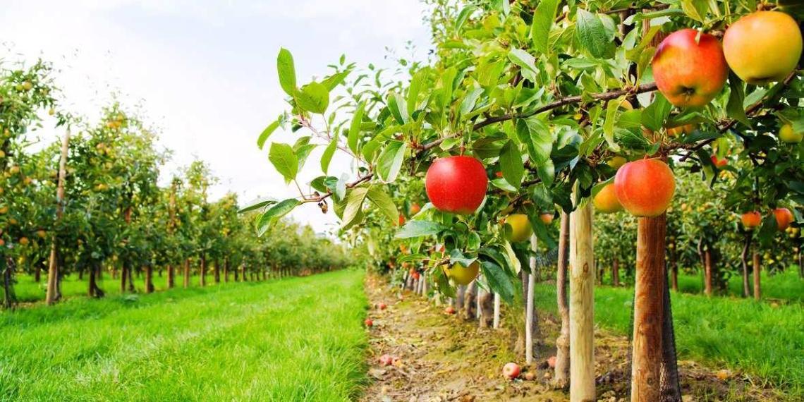 Китай производит больше половины всех яблок и груш в мире