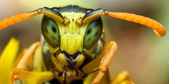 Найдены осы, которые превращают тараканов в зомби