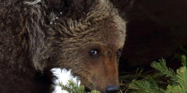 В Томской области засняли медвежонка, качавшегося на качелях