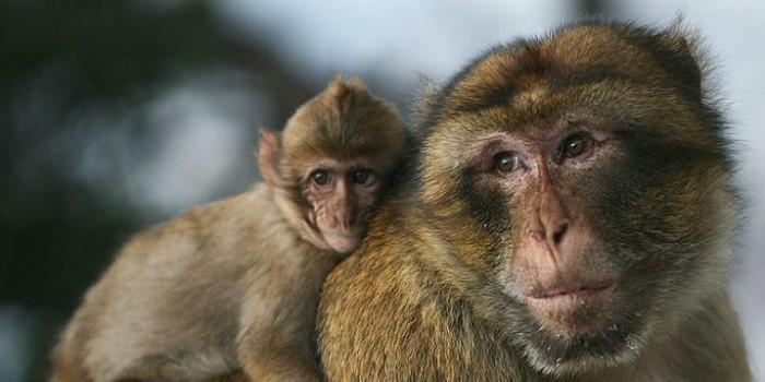 Ручная обезьяна спровоцировала военный конфликт в Ливии