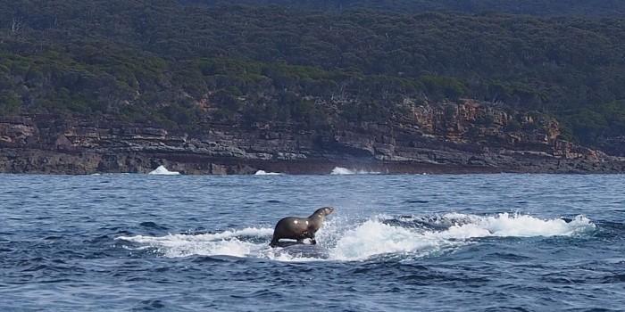 Австралийский тюлень прокатился на спине горбатого кита