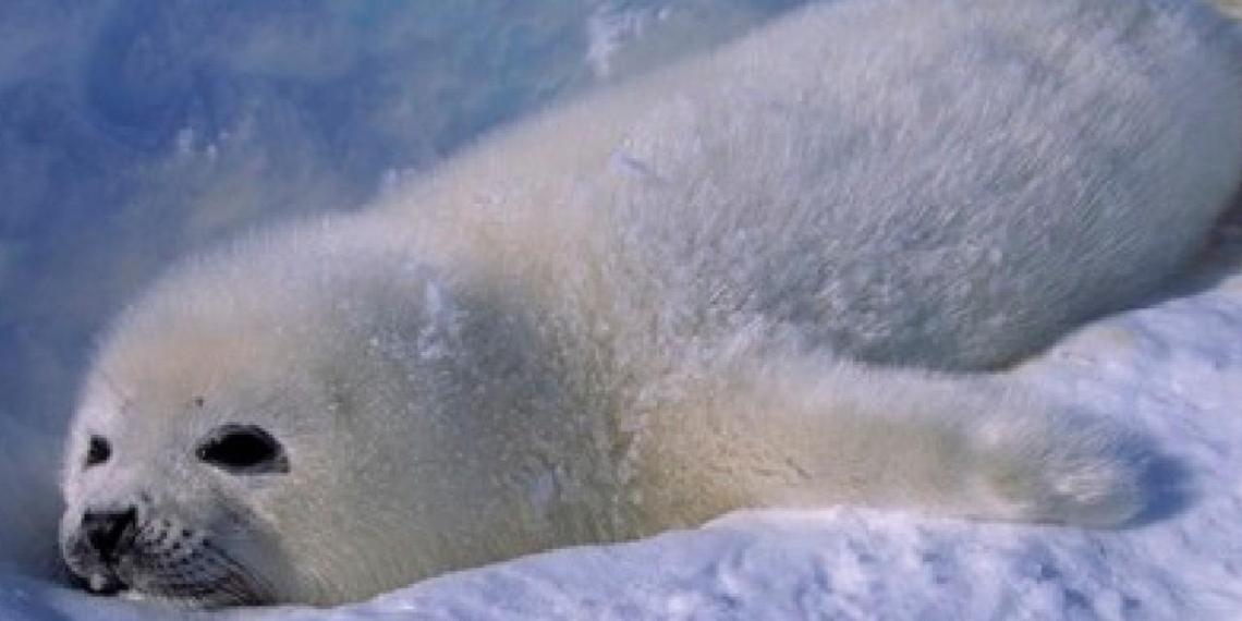 100 тысяч тюленей в Белом море могут погибнуть из-за аномальной жары