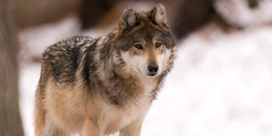 Житель ЕАО голыми руками задушил напавшую на него волчицу