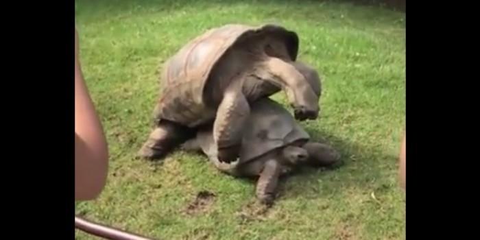 Видео со стонущими во время секса черепахами стало хитом фейсбука