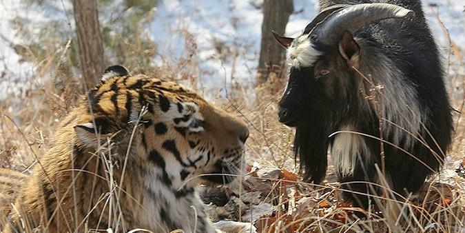 Новосибирец обвинил тигра Амура и козла Тимура в гей-пропаганде