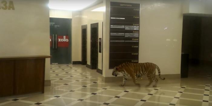 Полиция выяснила, как в торговом центре Хабаровска оказался тигр