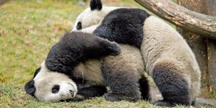В Китае нерешительных панд с помощью шеста заставили заниматься сексом