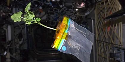 Российские космонавты вырастили в космосе салат
