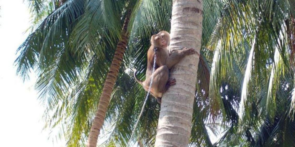 """В Британии отказались от производимой """"обезьянами-рабами"""" кокосовой продукции"""