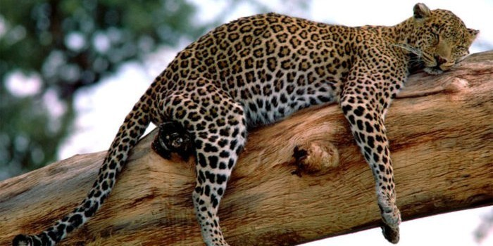 Зоопарк Дели вернул заимствованного толстого ягуара, который не смог спариться