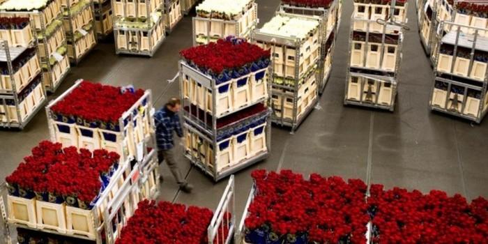 Россельхознадзор планирует запретить поставки цветов из Нидерландов