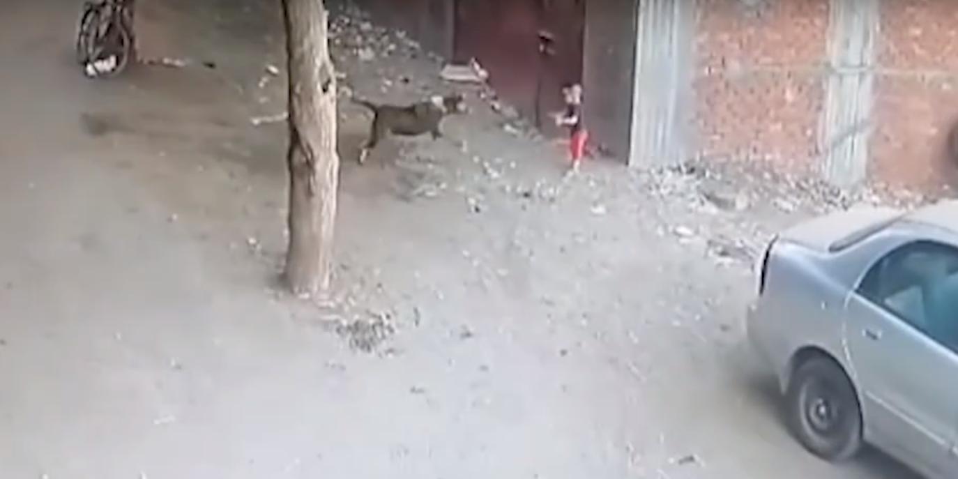 Камеры засняли, как кошка спасает ребенка от разъяренной собаки