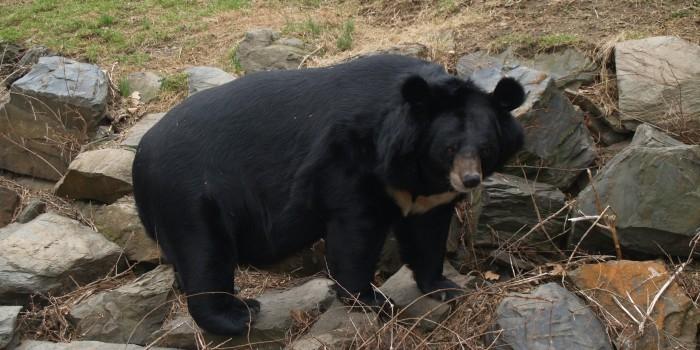 На Дальнем Востоке сотрудникам заповедника пришлось вывозить из села пьяную медведицу