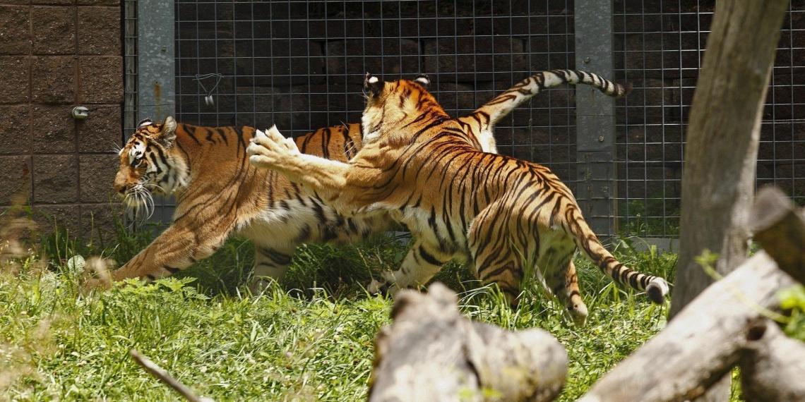В крымском зоопарке тигр откусил годовалому ребенку палец