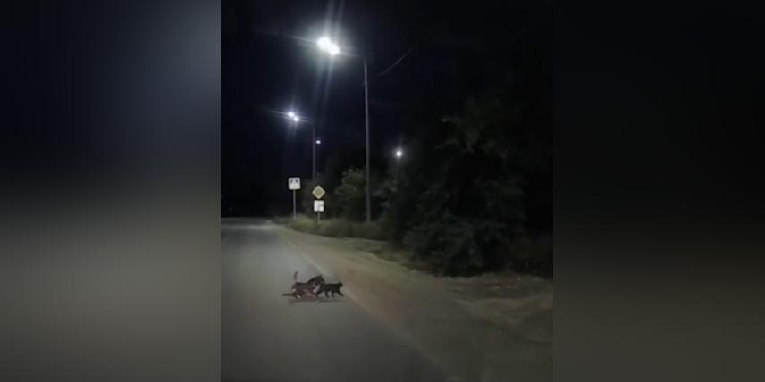 В России засняли кошек, переводящих раненую собаку через дорогу