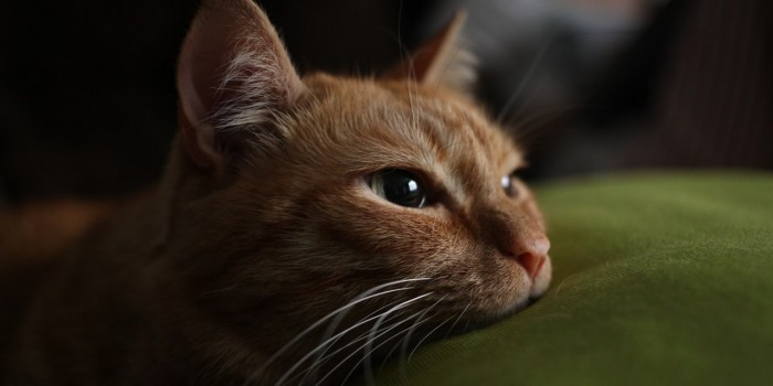 Пермские приставы арестовали принадлежащего должнику кота