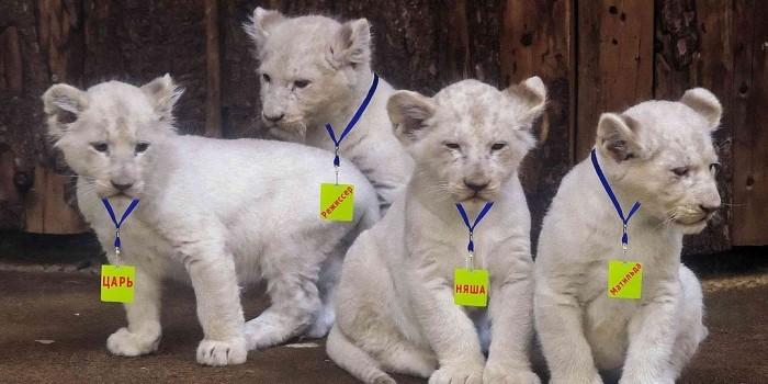 В Крыму новорожденных львят назвали Царь, Режиссер, Няша и Матильда