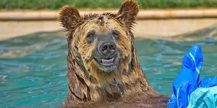 В Канаде супруги обнаружили медведя, расслабляющегося в джакузи (ВИДЕО)
