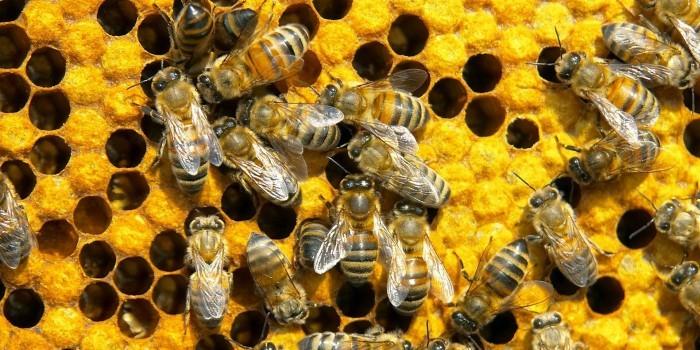 У американки в потолке завелись 120 тысяч пчел