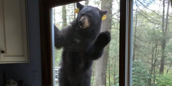 Медведь попытался забраться в дом к бабушке, учуяв запах ее пирожных
