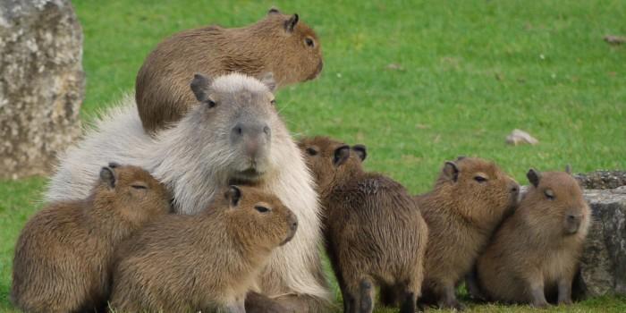 В пермском зоопарке родились шесть детенышей капибары