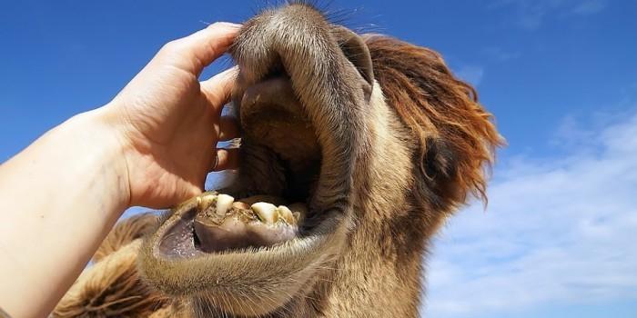 В Подмосковье верблюд откусил мужчине руку