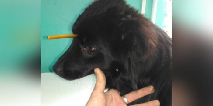 Под Ростовом врачи спасли собаку с металлической трубкой в голове