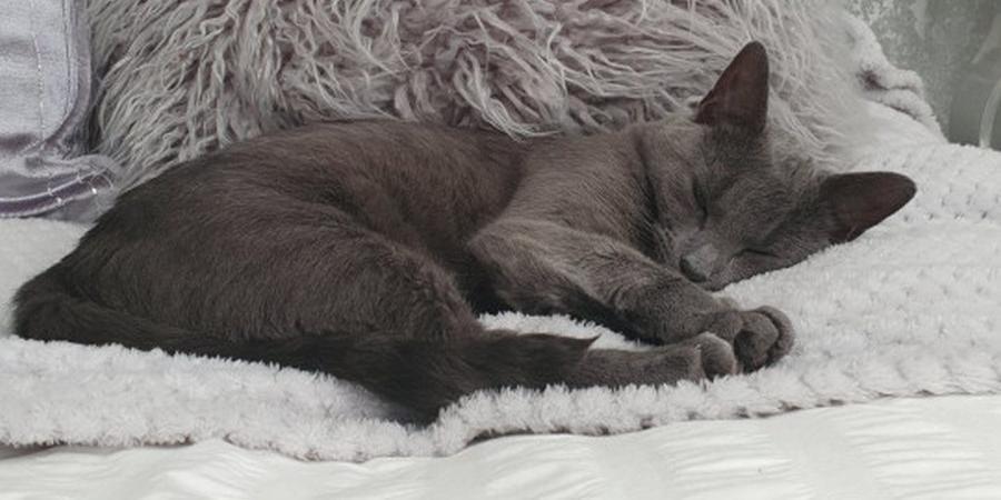 Русская кошка едва не сорвала британскую свадьбу, съев подарок и доведя невесту до слез