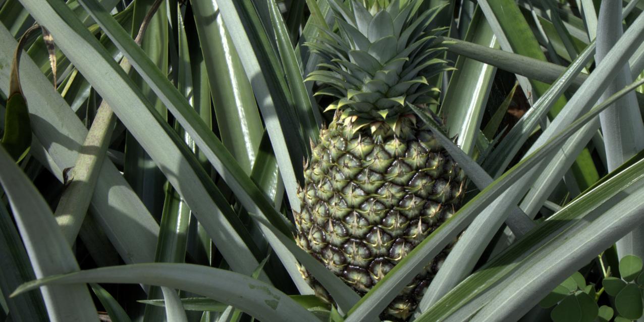 Российское телевидение выпустило сюжет о сатанинской сути ананасов