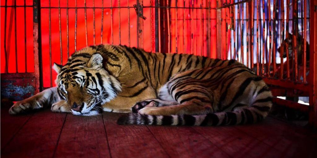 Российским дрессировщикам цирка запретят мучить животных