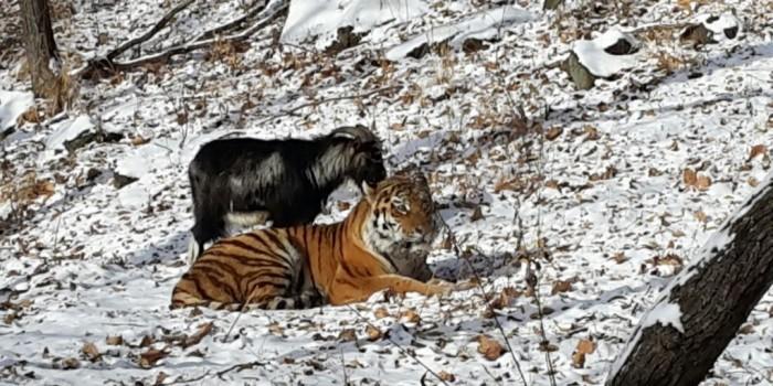 Фанаты тигра Амура и козла Тимура просят расселить их