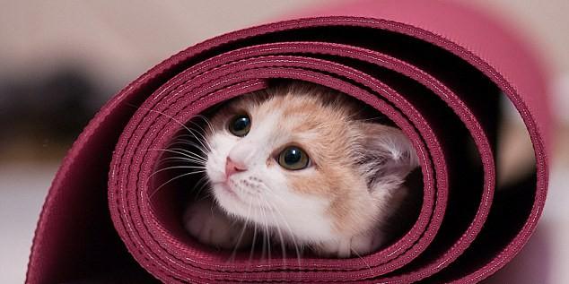 В Австралии приглашают на йогу с котами